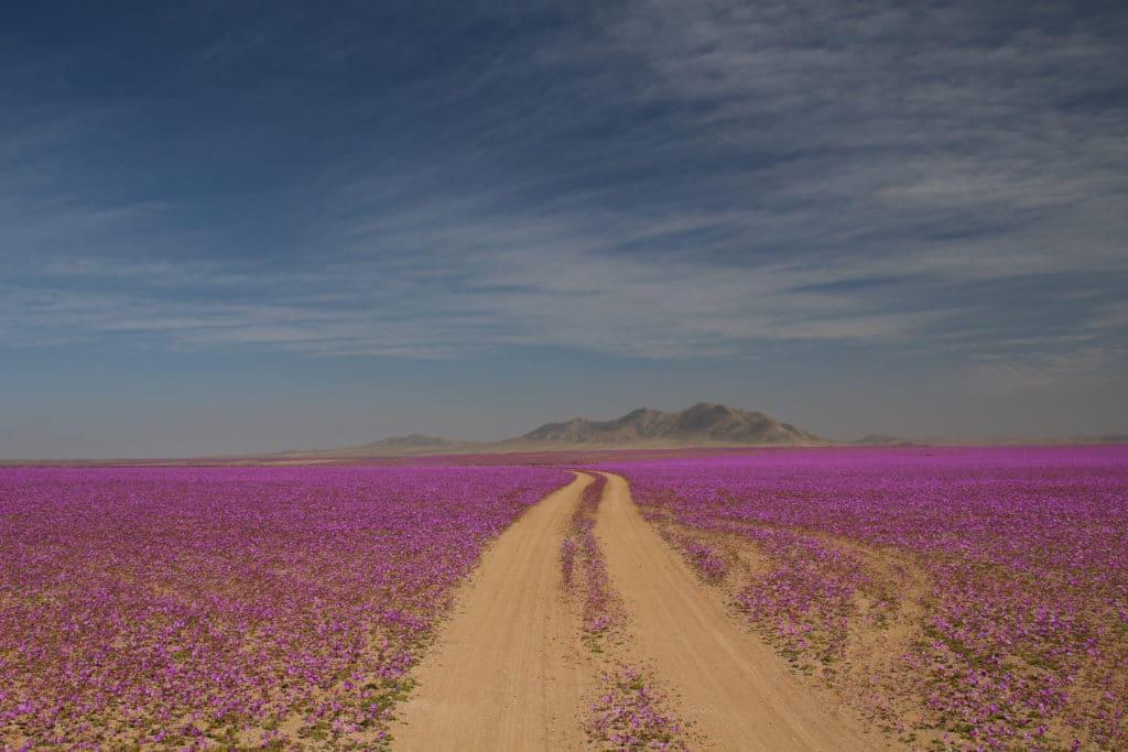 blooming desert Atacama Chile