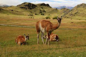 guanaco route australe patagonie chili parc patagonia tompkins