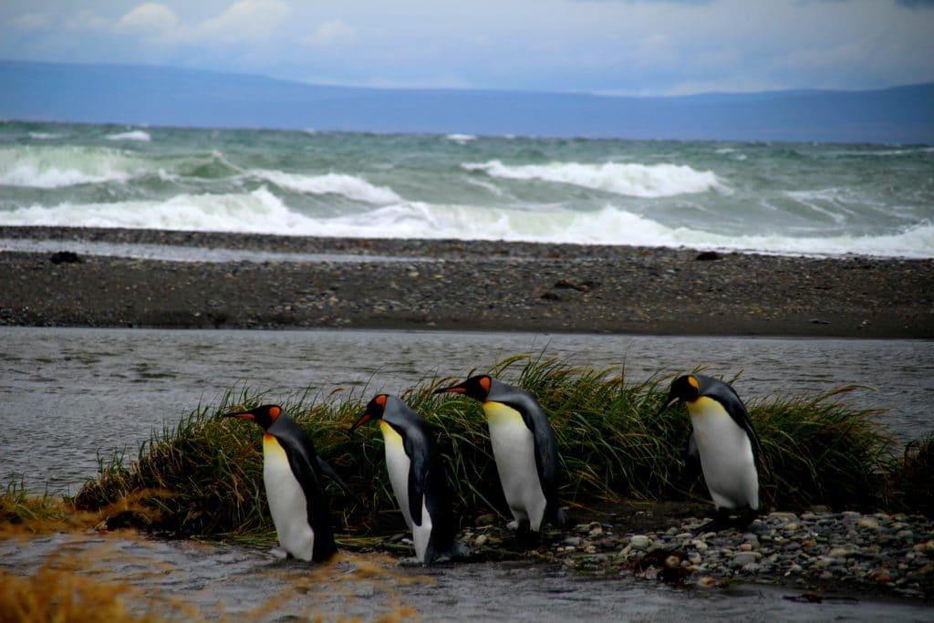 manchots rois pingouins terre de feu chili voyage avion