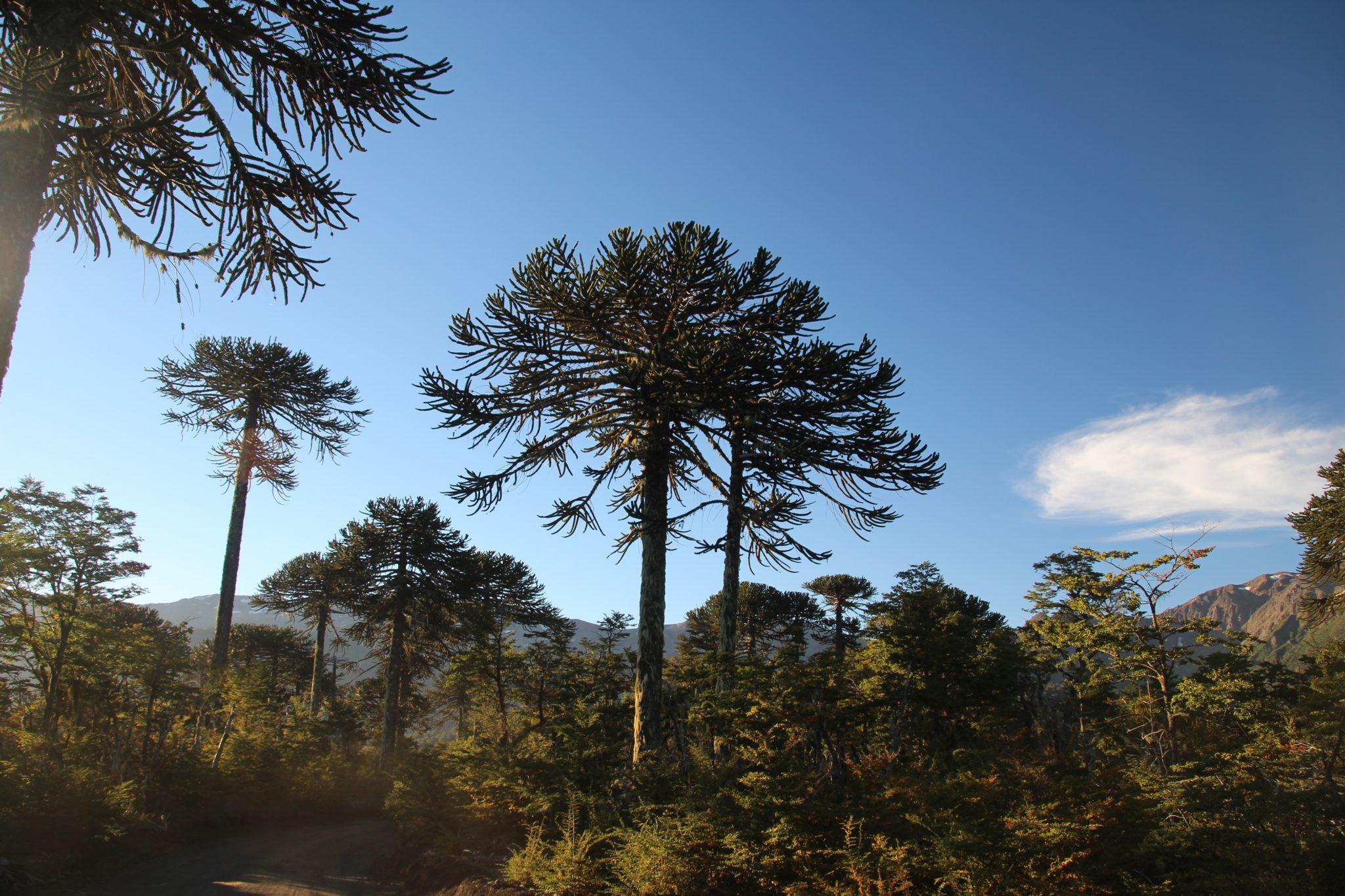 araucaria arbres natifs chili