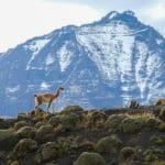 lama chili Torres del paine patagonie