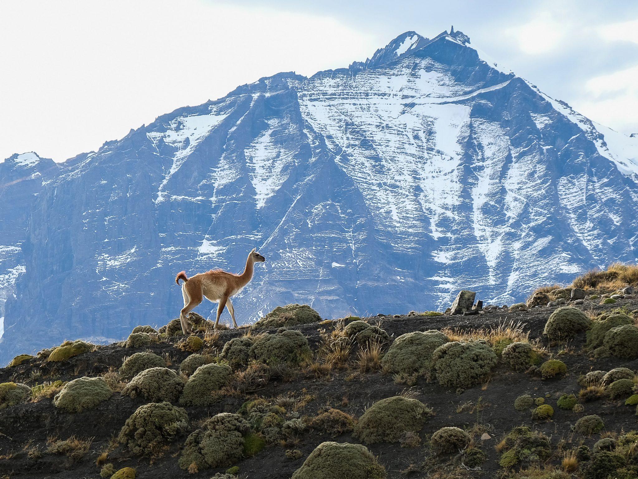 Guanaco et montagnes