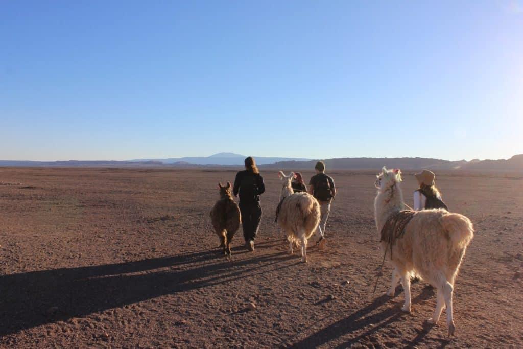 Balade avec des llamas chili atacama