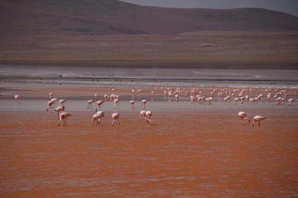 Laguna Colorada pink flamingos