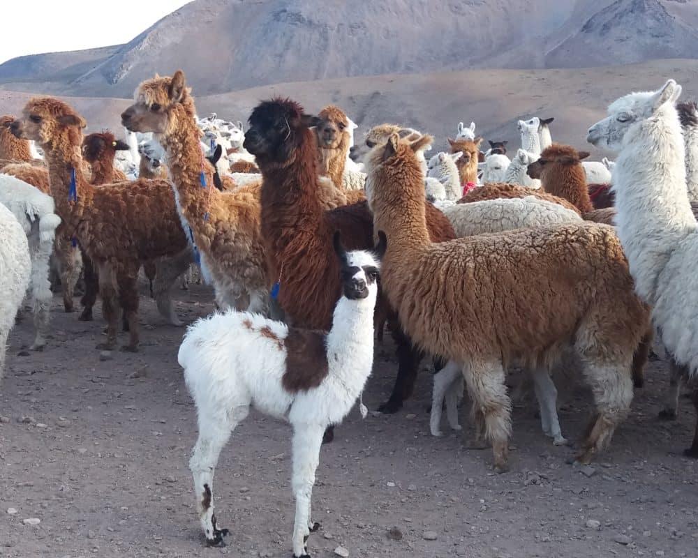 lamas bebe altiplano chili