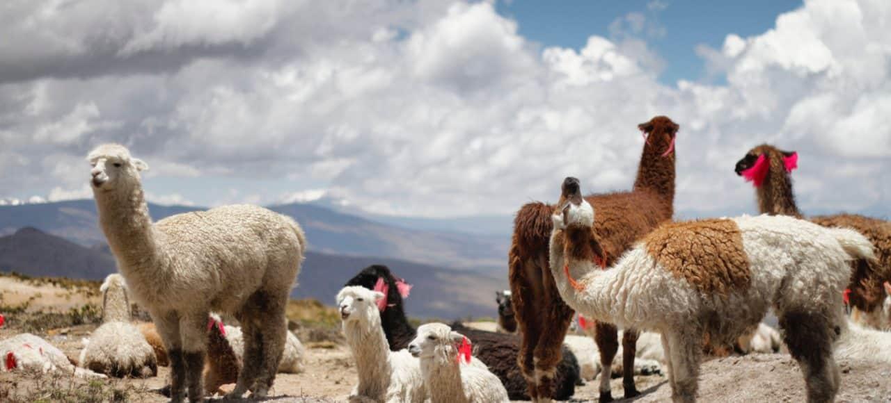 Une famille de lamas chiliens à Atacama