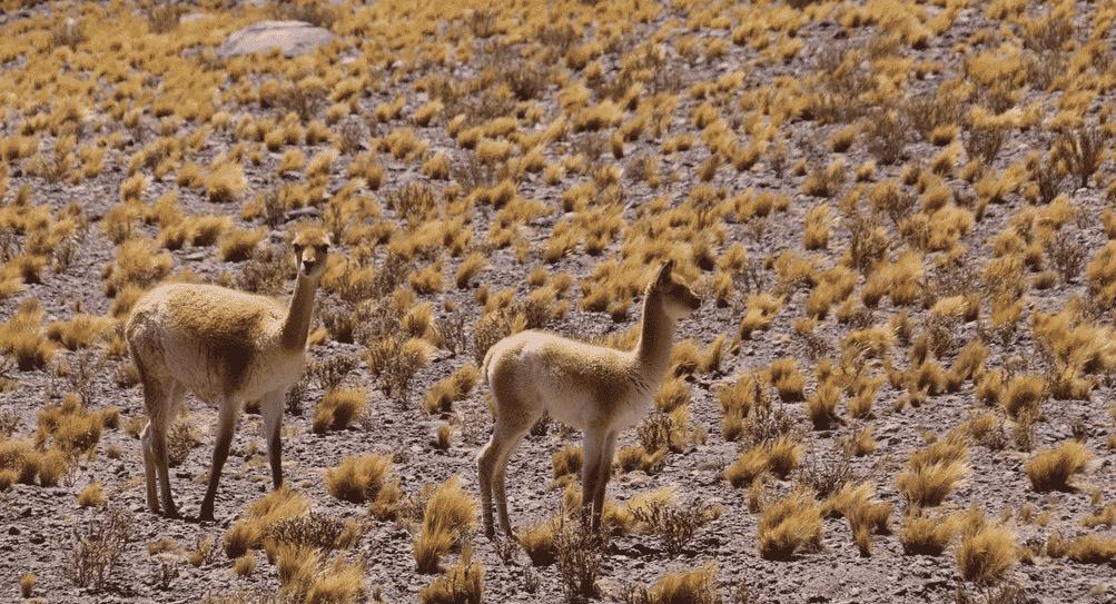 Lagunes altiplaniques Atacama guanacos