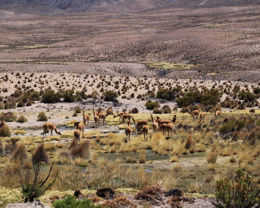 vicuña dans l altiplano région de arica au chili