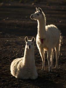 2 lamas blancs chili extreme nord putre chullucane