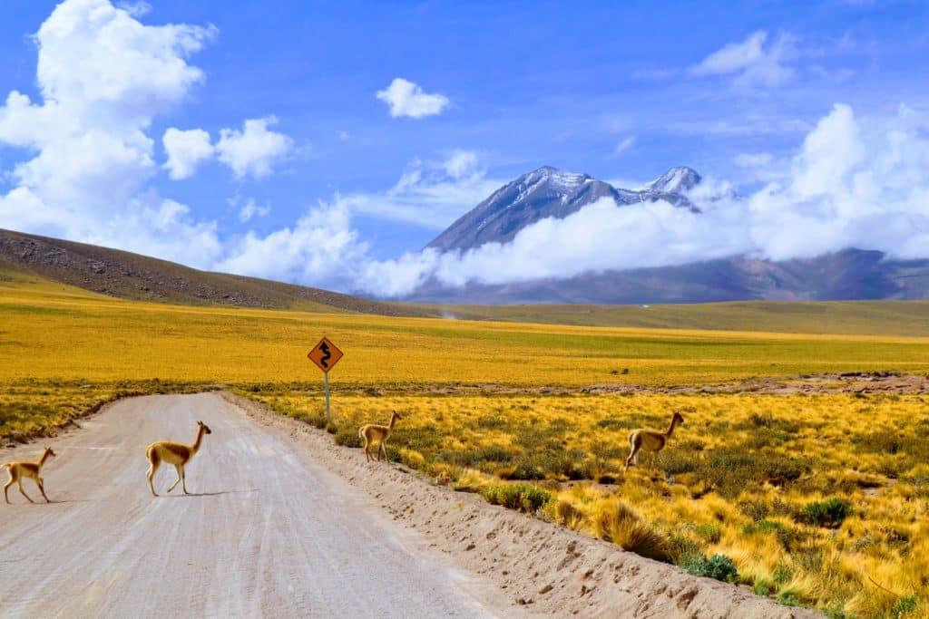 vicuña traversant une piste dans l altiplano au Chili près de Putre