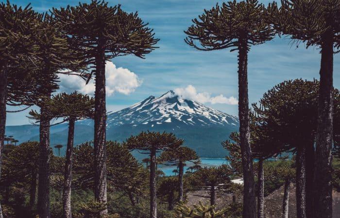 in the heart of Conguillio Park in Chile in Araucania, view of millennia-old araucarias