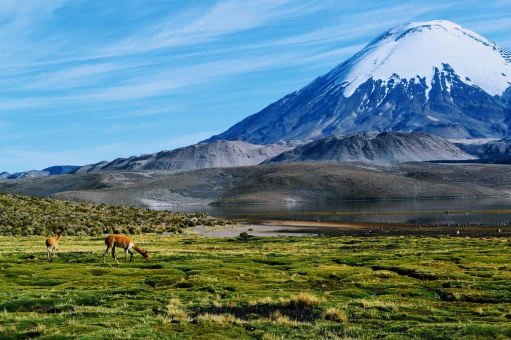 vicuña au pied d'un volcan dans la région de Putre au Chili