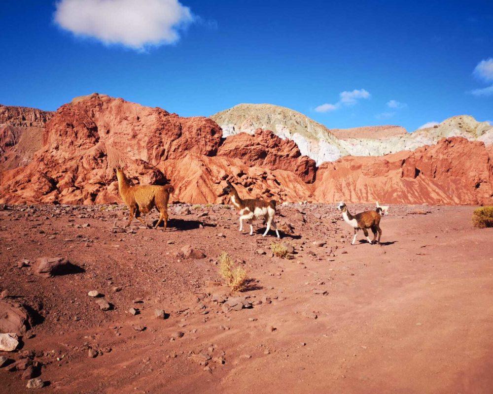 3 lamas dans la vallée arc en chili au désert d Atacama au Chili