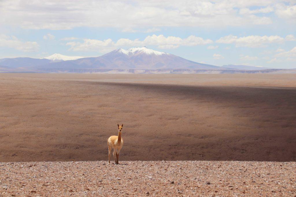 Vicuña dans une plaine au désert d'Atacama au Chili, en arriere plan une chaine de montagne enneigée