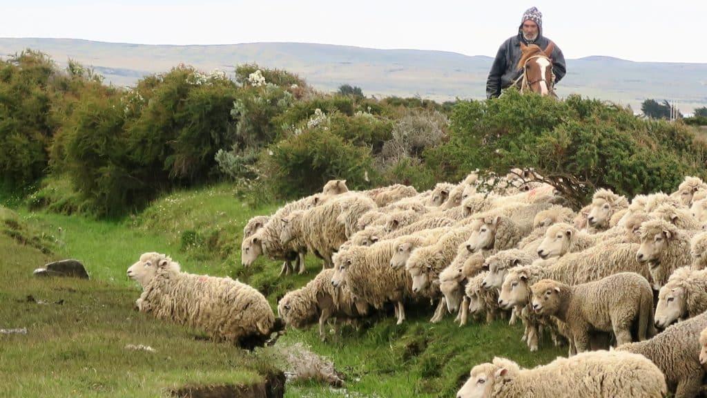 troupeau de moutons en Patagonie dirigé par un gaucho et son cheval