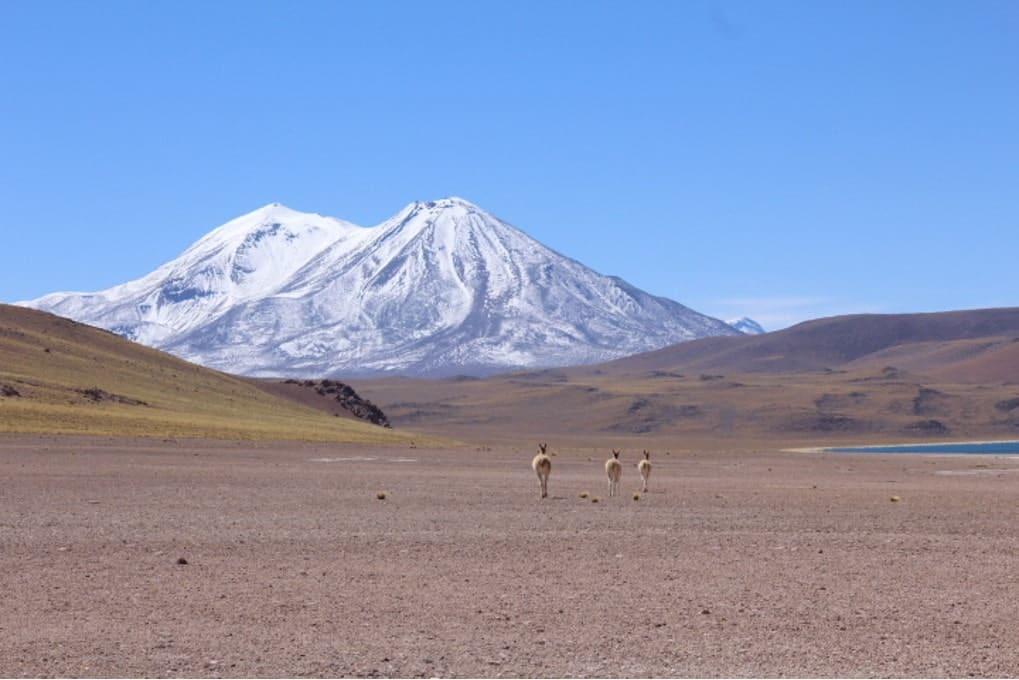 3 guanacos marchant vers un Volcan enneigé chili atacama