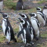 pingouins manchot magellan isla magdalena