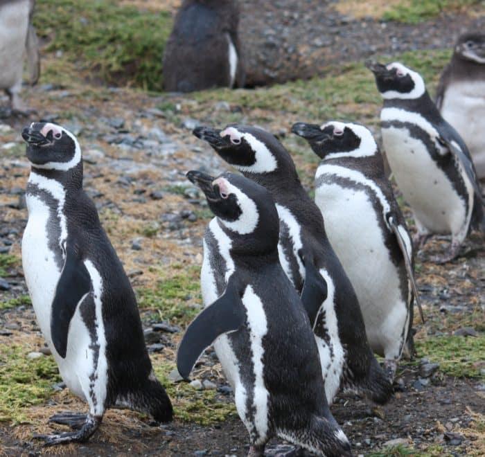 penguins penguin magellan isla magdalena