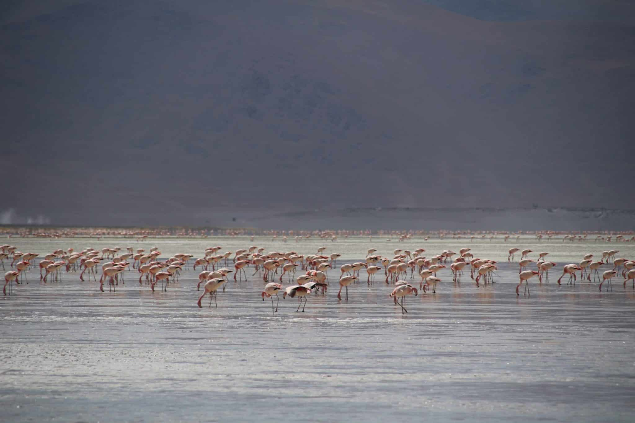 laguna colorada flamants roses réserve eduardo avaroa