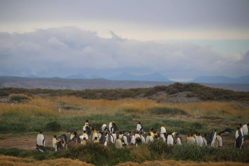 royal penguins on the land of fire chili