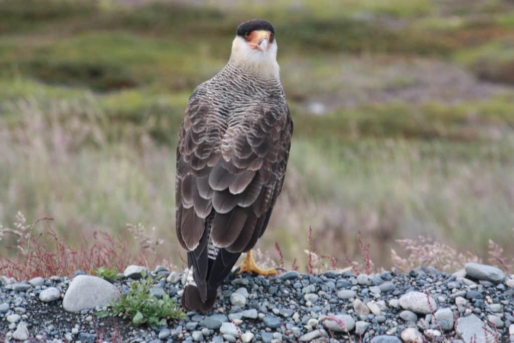 condor patagonie chili