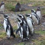 manchots isla magdalena punta arenas patagonie chili