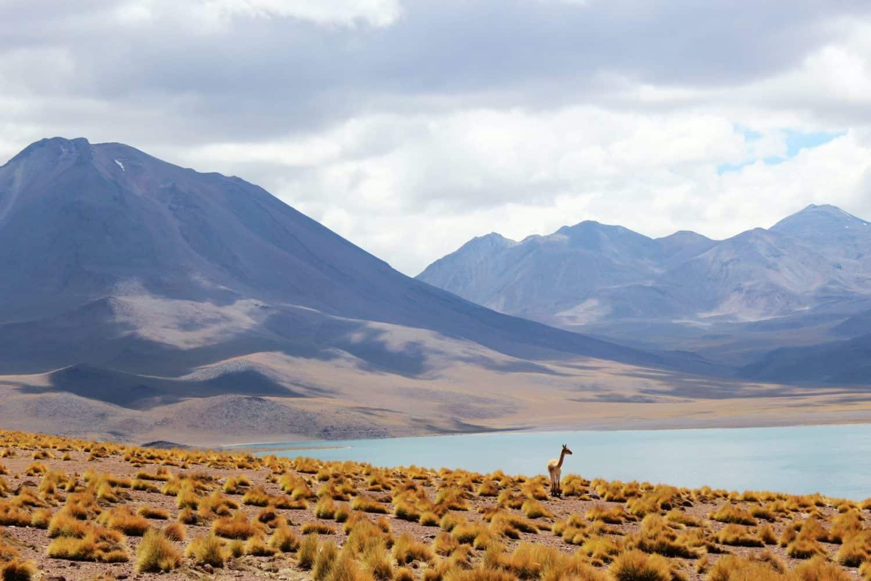 Desert atacama lagune guanaco