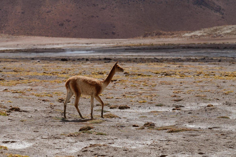Un guanaco dans le désert d'Atacama