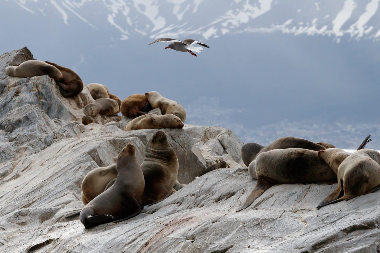 Colonie de lion de mer en patagonie