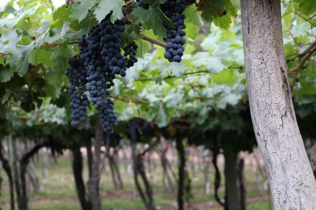 vignes vin argentine mendoza