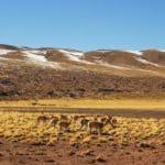 vicuña chili atacama desert