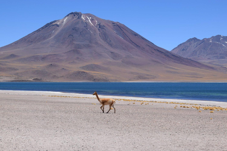 laguna miscanti miñiques chili desert atacama vicuña
