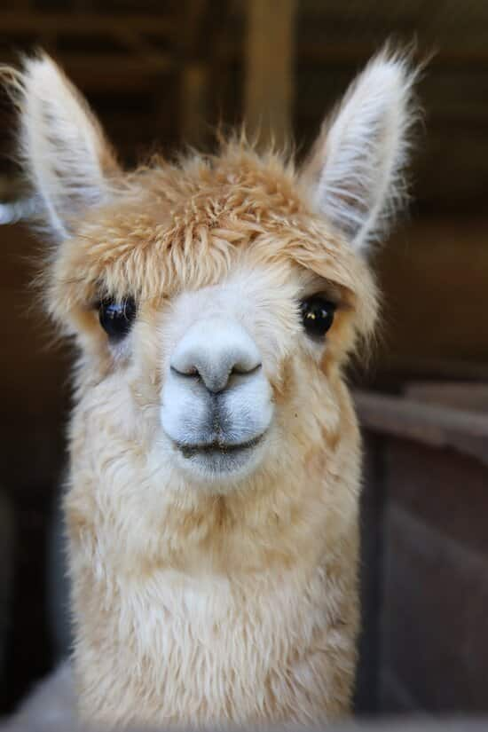 A sweet Alpaca in Chile's biggest farm