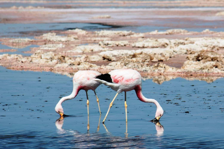 flamants roses desert atacama laguna chaxa